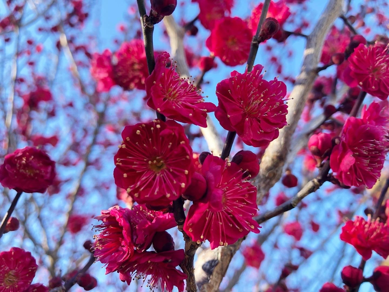 02 Tree - Prunus mume