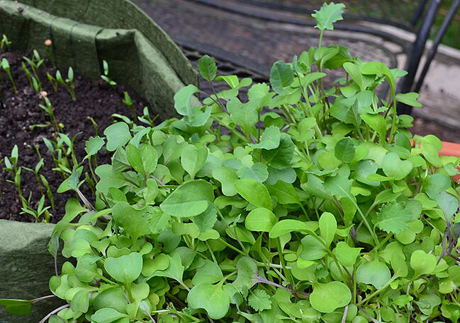 Salad mix microgreens ready to harvest