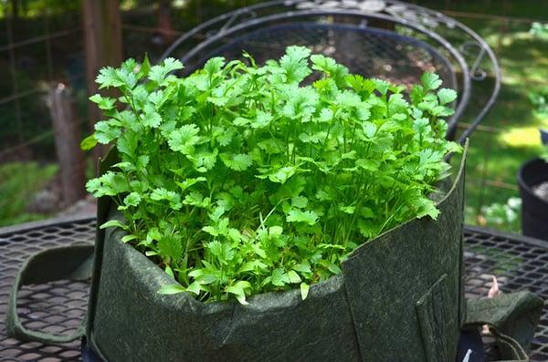 Cilantro microgreens in Soil3