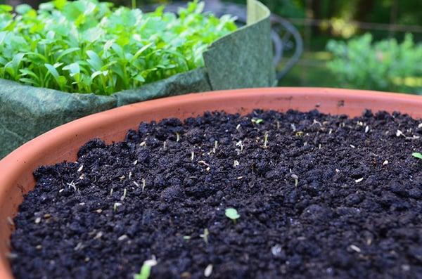 Snails ate my lettuce seedlings