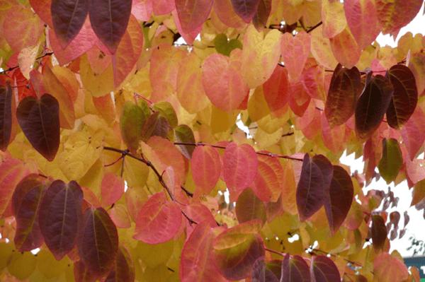 Autumn_Cercidiphyllum japonicum