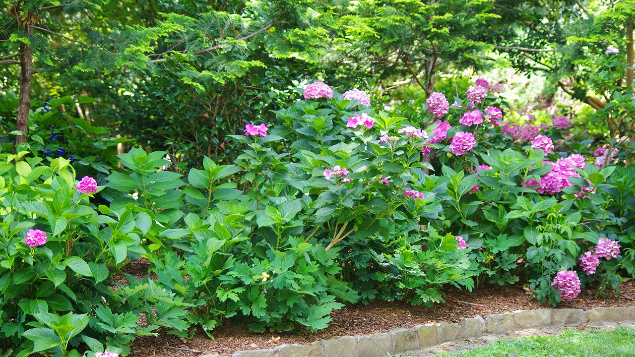 Bigleaf Hydrangeas transplanted into mounds of Soil3 in front of tree line