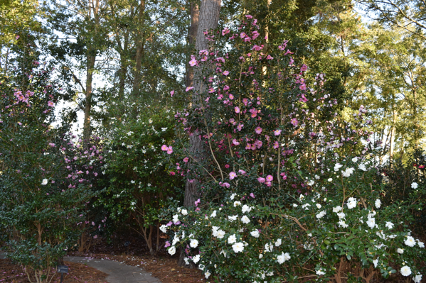 Camellia sasanqua x oleifera