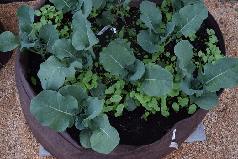 Broccoli plants and seeds growing in Root Pouch