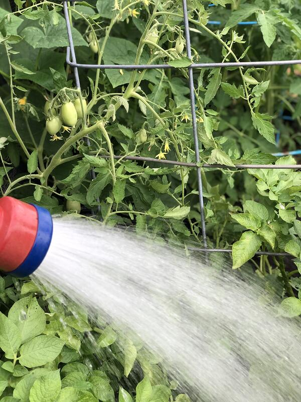 Hand watering my tomatoes