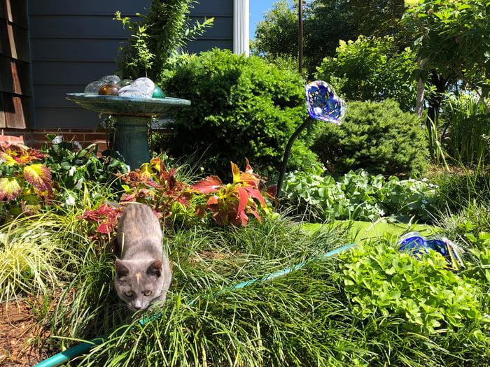 Ava the kitten stalking the garden hose
