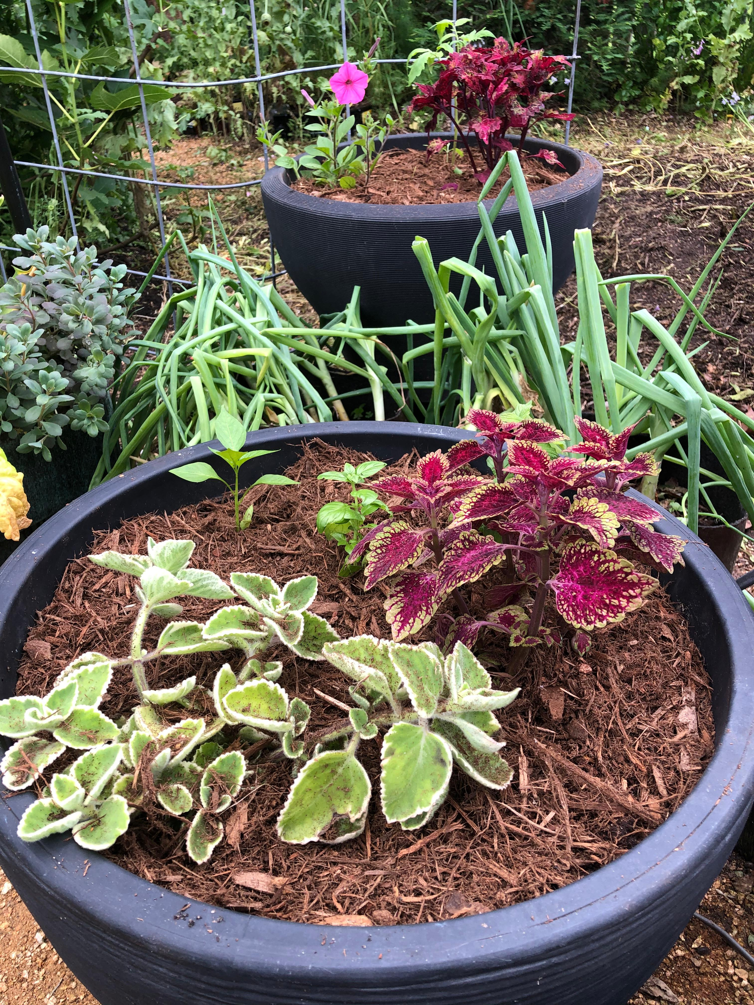 Container filled with Soil3 and mulch around the plants to conserve water