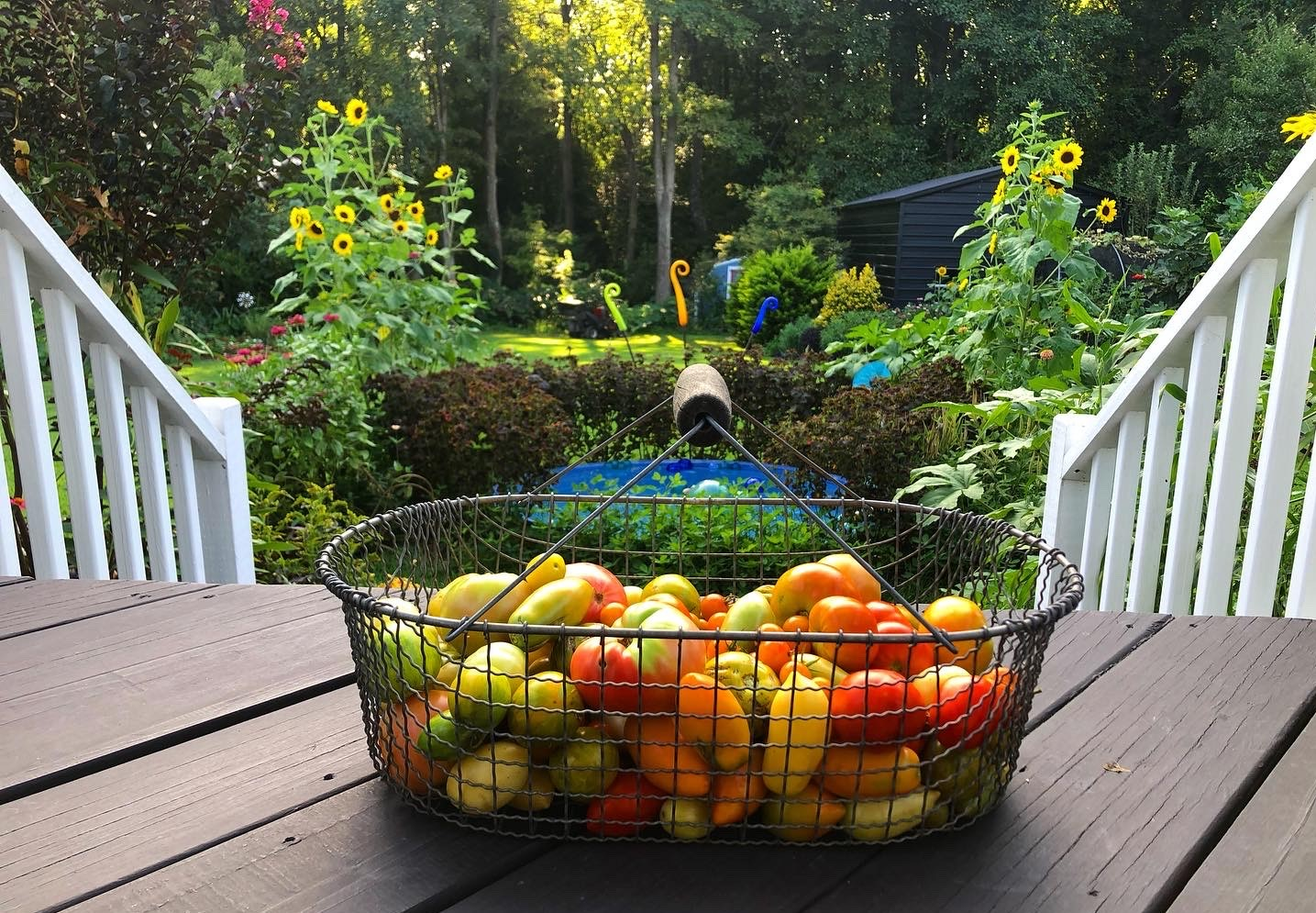 Late summer tomato harvest and foodscape