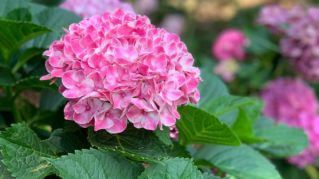 Pink_WhiteHydrangea