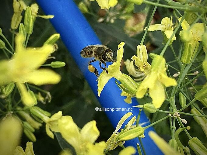 Pollinating arugula flowers in my garden this week