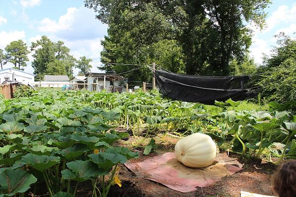 1826 wolf pumpkin 24 days after pollination with soil3