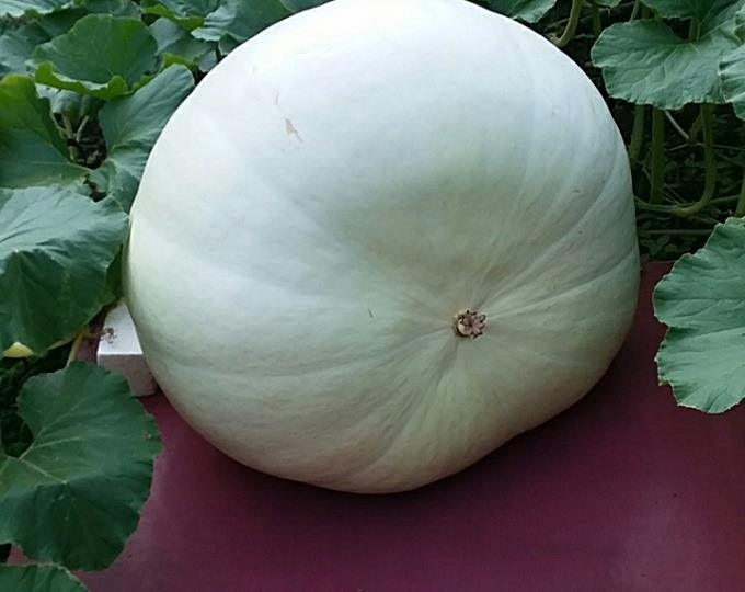26 days past pollination over 300 lbs.jpg