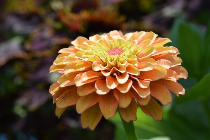 Queen Lime Orange Zinnia
