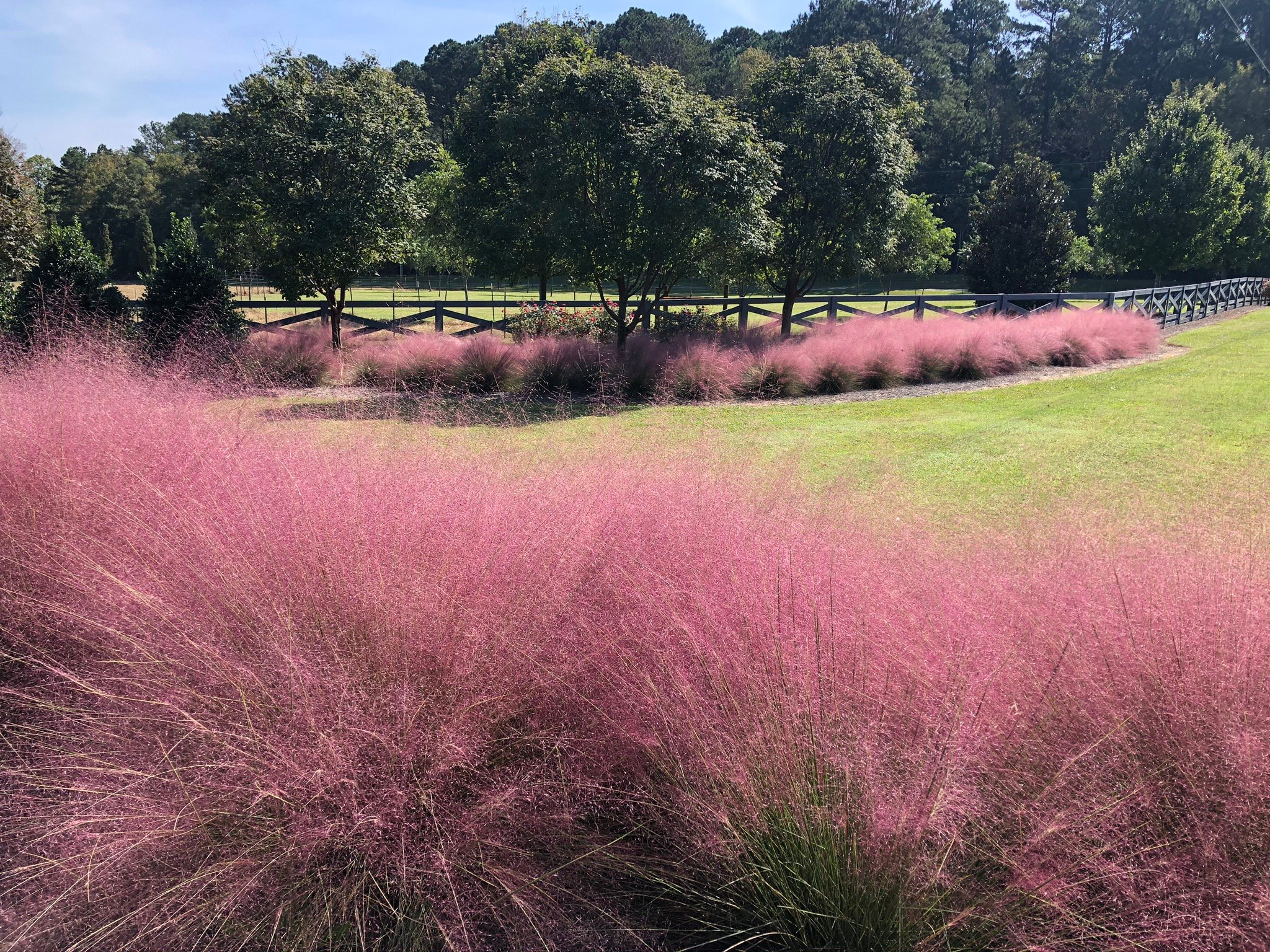 ornamental grass - purple muhlly grass