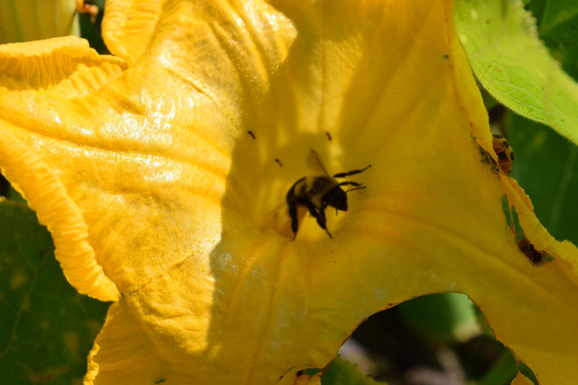 native bee polinator of squash-1