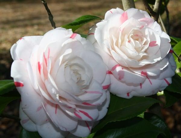 Camellia La Peppermint 1