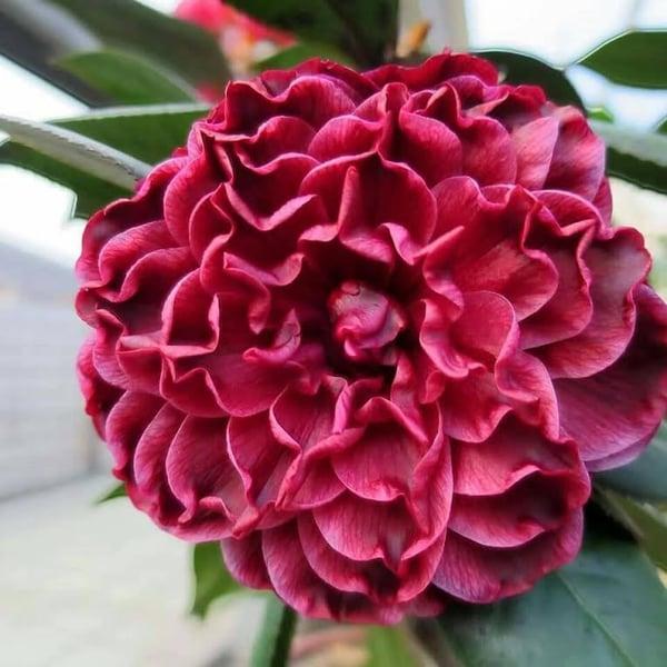 amazing camellia