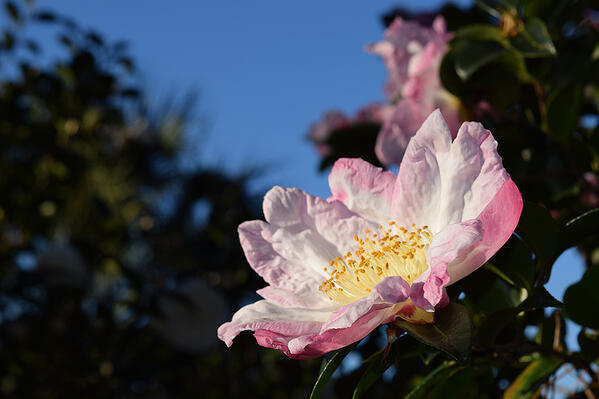 camellia in savannah small pic