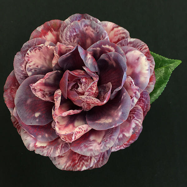 camellia show small