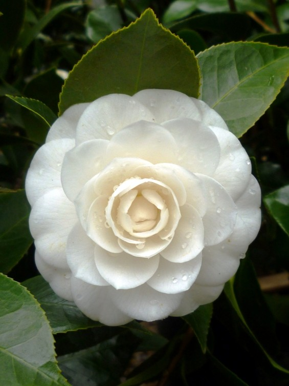 camellia_-_perfection_white