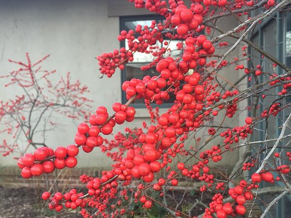 Ilex verticillata winterberry hollies
