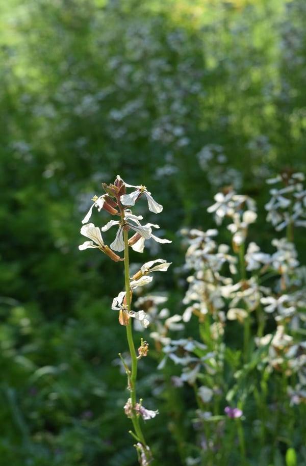 edge arugula flower