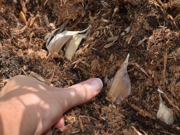 edge garlic planting