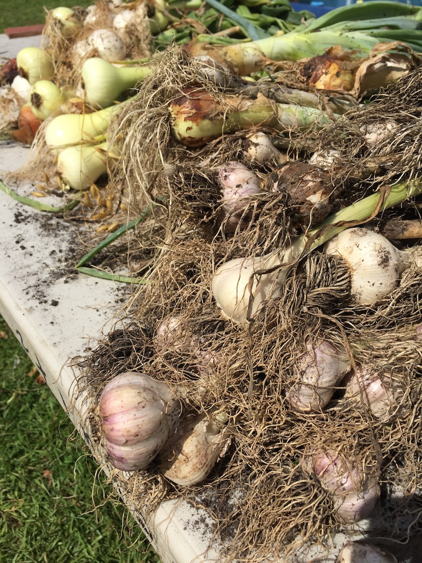 garlic and onion harvest