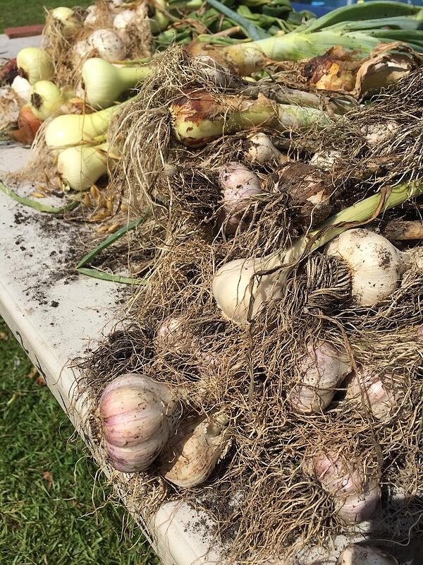 garlic and onion harvest