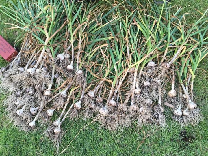 growing garlic to deter voles