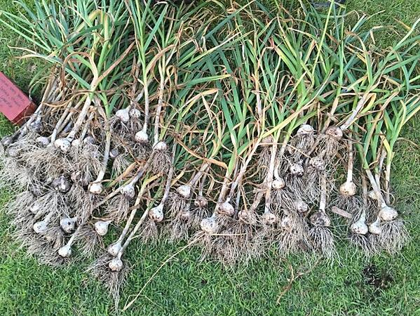 growing garlic to deter voles