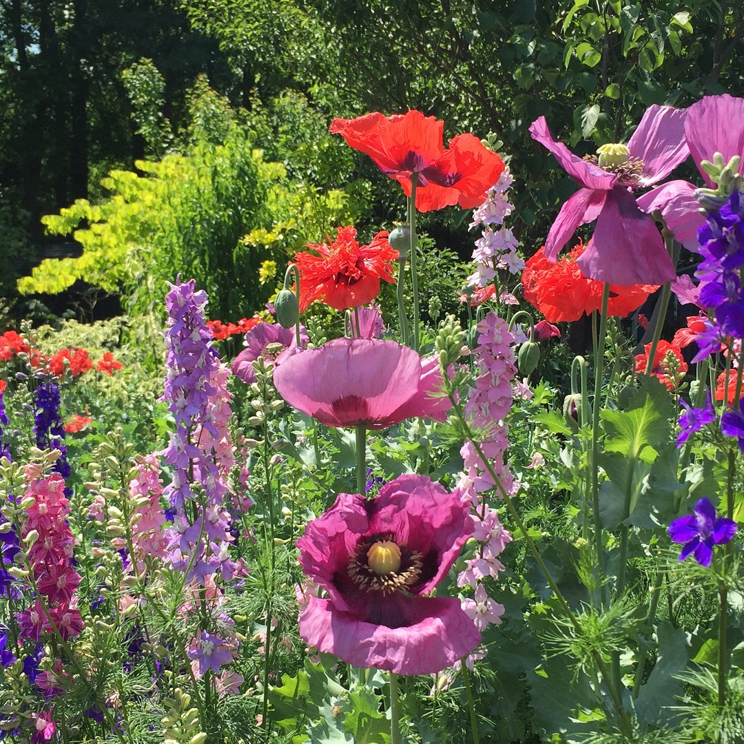 larkspur and poppies