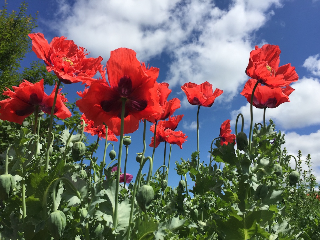 poppies in Brie Arthurs yard