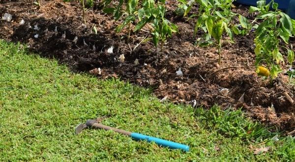 rows of fresh planted garlic