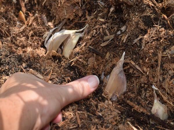 thumb garlic cloves into bed edge