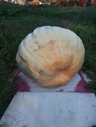 1944 Connally pumpkin before harvest 3rd week of september.jpg