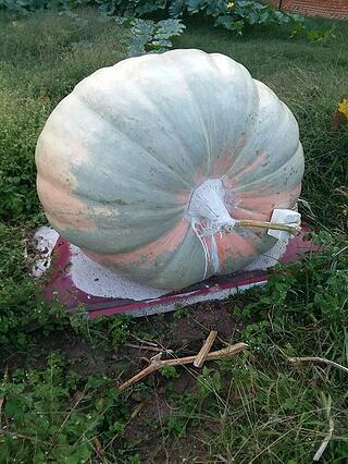 1944 connally giant pumpkin green coloring from squash ancestor.jpg