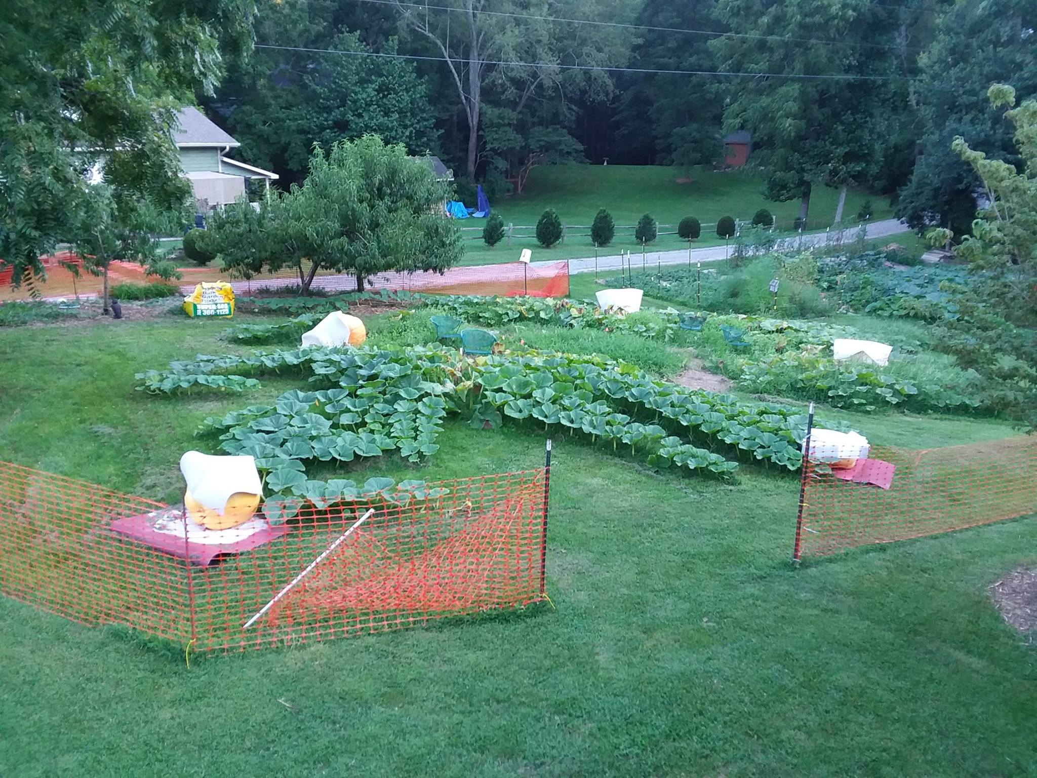 growing_giant_pumpkins_sprint_with_pollination_then_marathon_waiting_to_grow_during_70_to_100_days