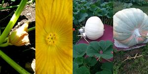 How to Grow Giant Pumpkins with Compost - featured image