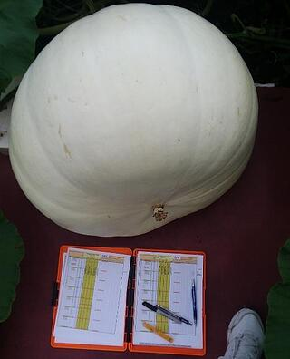 young pumpkin measurement tracking is important for detecting problems before they arise.jpg