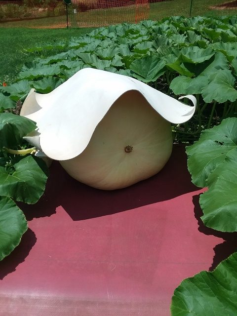 young pumpkins are shaded so the sun does not harden their skin and result in splits during times of quick growth.jpg