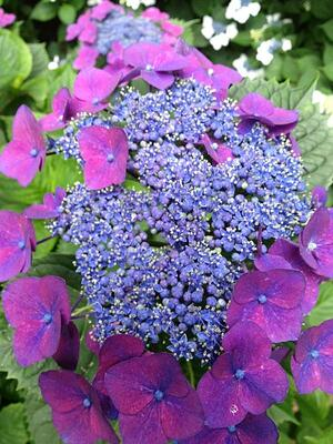 Growing Hydrangeas in Compost And How it Changes Their Flower Color