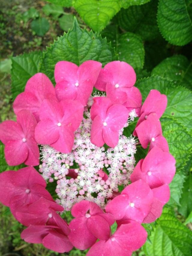 Hydrangea_macrophylla_compost2.jpg