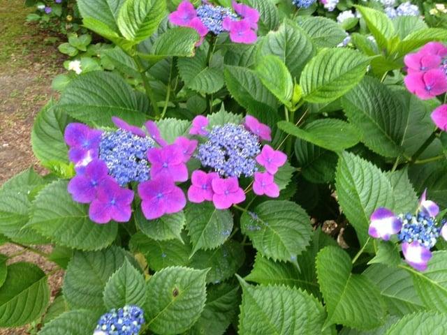 Hydrangea_macrophylla_compost3.jpg
