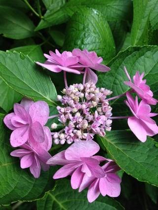 Hydrangea_macrophylla_compost4.jpg