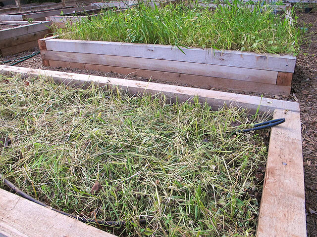 Growing Cover Crops to Protect and Rejuvenate the Garden - featured image