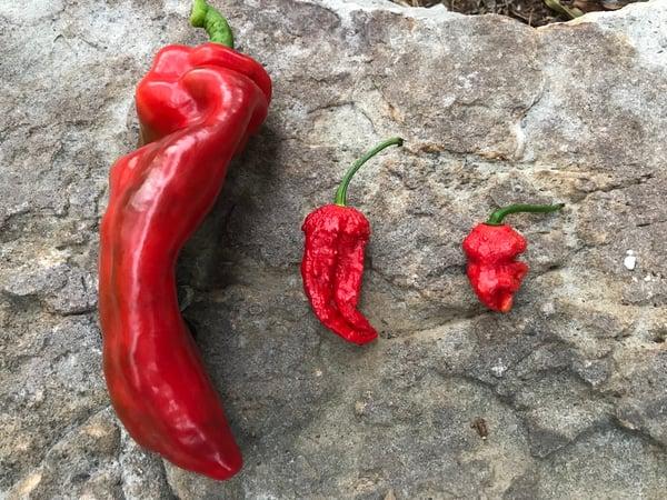 Soil3 hot pepper 07 30, 6 54 50 AM