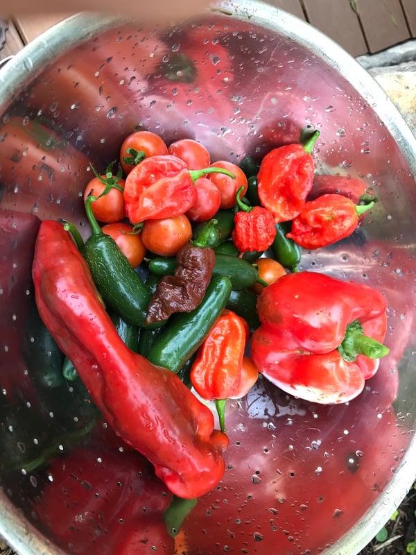 Soil3 hot pepper 08 04, 2 08 55 PM