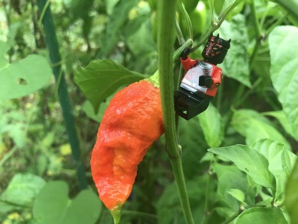 Soil3 hot pepper 08 18, 9 42 54 AM