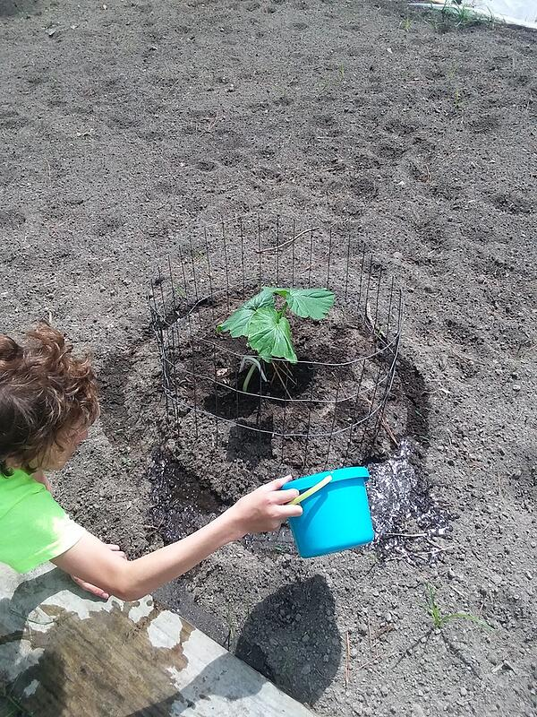 TJ watering the young pumpkin plant